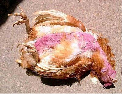 Ayam Mati