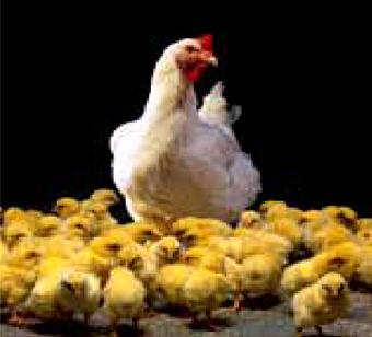 ayam modern